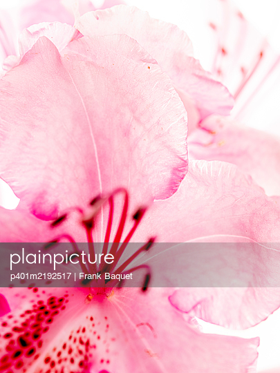 Rhododendron bloom - p401m2192517 by Frank Baquet
