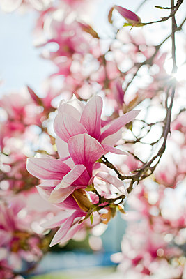 Magnolia Blooms In Springtime In Rhode Island - p343m1223808 by Cate Brown