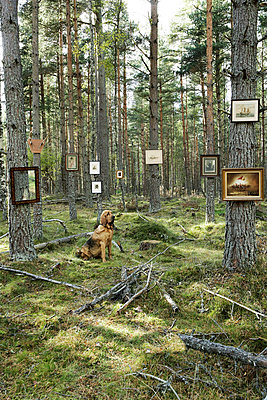 Blood hound sitting in pine forest with pictures hung on the tree trunks - p3493184 by Jon Day