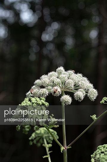 Blooming goutweed - p1609m2253818 by Katrin Wolfmeier