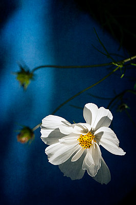 Close-up of white cosmos flower and buds against dark blue background - p1047m2133411 by Sally Mundy