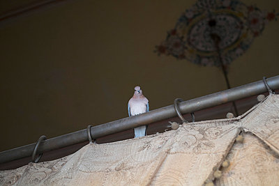 Low angle view of pigeon perching on curtain rod - p301m1029329f by Benne Ochs