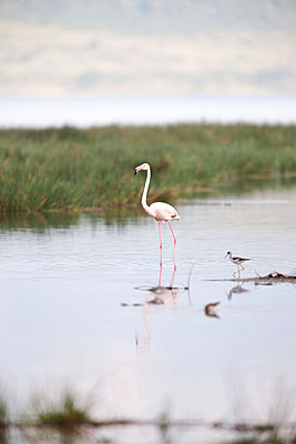 Proud flamingo - p533m1451886 by Böhm Monika