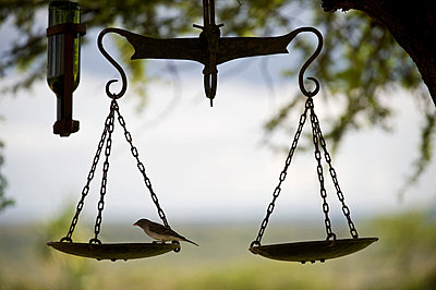 A small bird feeds on a bird table created from an old set of scales at Ol Malo House - p6521147 by John Warburton-Lee