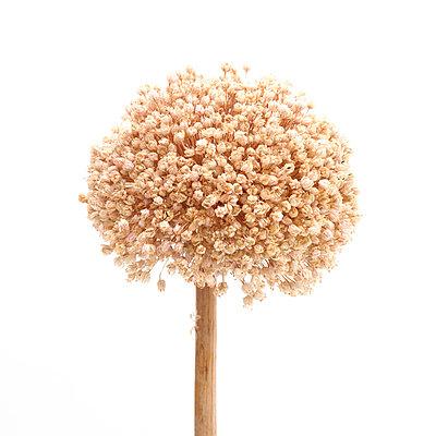 Garlic Flower - p813m948637 by B.Jaubert