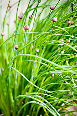 Chive buds - p312m1229178 by Rebecca Wallin