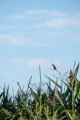 Sparrow on maize plant - p739m1467971 by Baertels