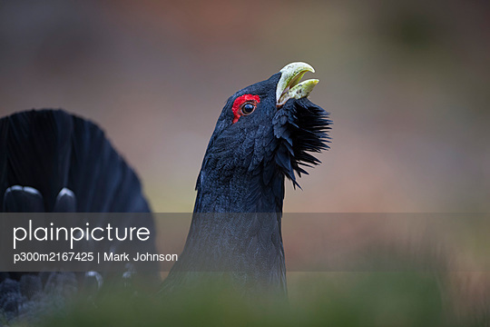 Scotland, Caledonian Forest, mating Western capercaillie - p300m2167425 by Mark Johnson