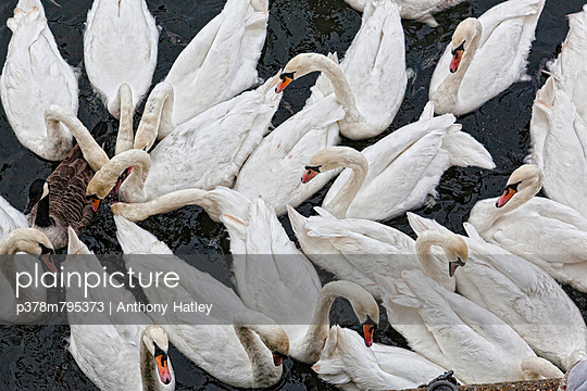 Swans viewed from above - p378m795373 by Anthony Hatley
