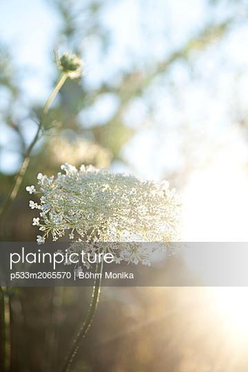 Delicate wild flower in the backlight - p533m2065570 by Böhm Monika
