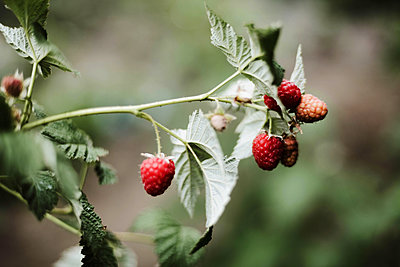Red raspberry on the vine. - p1166m2094509 by Cavan Images