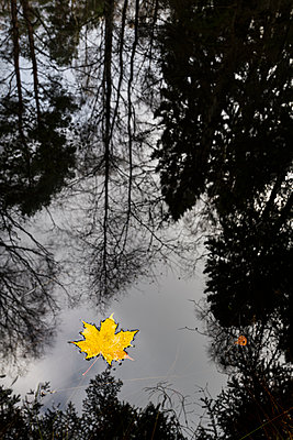 Yellow maple leaf floating on water - p312m1533118 by Mikael Svensson