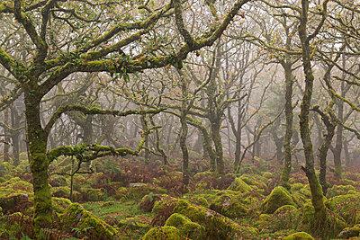 Moss covered trees in Wistman's Wood, Dartmoor National Park, Devon, England, United Kingdom, Europe - p871m1118654 by Adam Burton