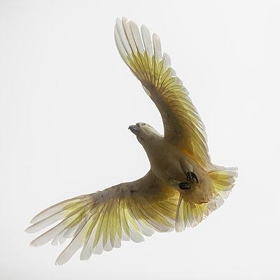 Bird in flight - p1542m2197007 by Roger Grasas