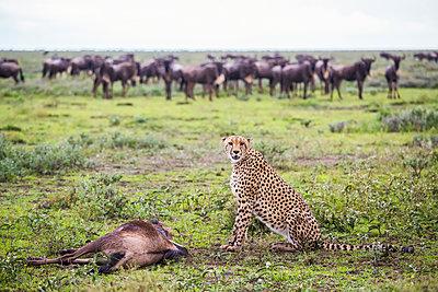 Cheetah  With It's Wildebeest Kill After A Hunt, Serengeti; Tanzania - p442m1499770 by Robert Postma
