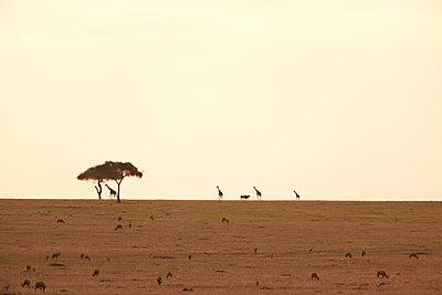 Giraffes at sunset - p533m1215508 by Böhm Monika