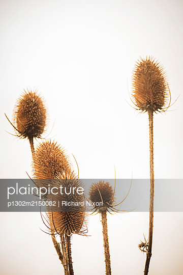 Five brown Teasel seed heads against a grey overcast sky. - p1302m2150082 by Richard Nixon