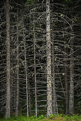 Dead forest - p1418m1571805 by Jan Håkan Dahlström