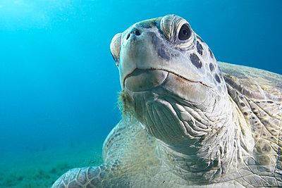 Green turtle - p4298037 by Zac Macaulay