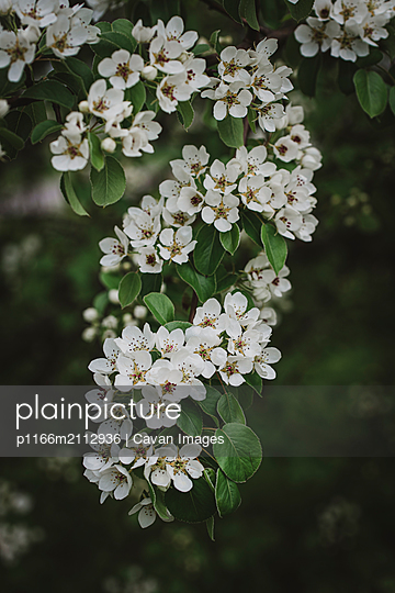 White flowers and buds on a tree blooming in the spring. - p1166m2112936 by Cavan Images