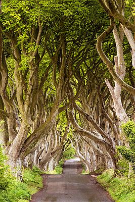 The Dark Hedges, County Antrim, Ulster region, northern Ireland, United Kingdom. Iconic trees tunnel. - p651m2007353 by Marco Bottigelli