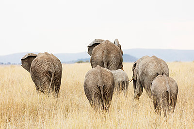 Family of African elephant , Serengeti National Park, UNESCO World Heritage Site, Tanzania, East Africa, Africa - p871m1583792 by Christian Kober