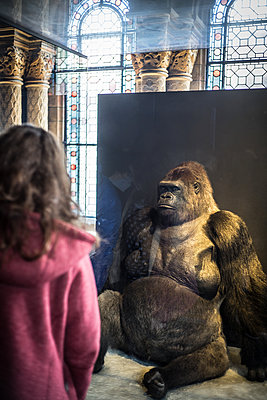 Lowland gorilla exhibit in the British Museum - p1402m2064650 by Jerome Paressant