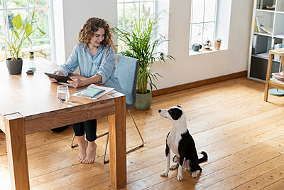 Beautiful Smiling businesswoman with digital tablet looking at Jack Russell Terrier in home office - p300m2276453 by Steve Brookland