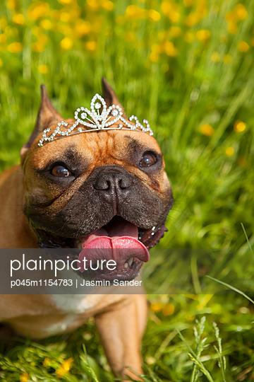 Französische Bulldogge mit Diadem - p045m1154783 von Jasmin Sander