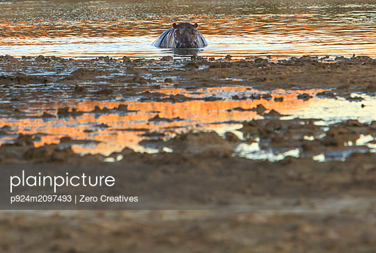 Hippopotamus in muddy watering hole, animal portrait, Cape Town, Western Cape, South Africa - p924m2097493 by Zero Creatives