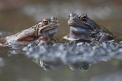 Common Frog males on spawn waiting for females - p884m863854 by Cyril Ruoso