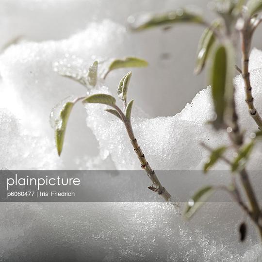 Pflanze im Schnee - p6060477 von Iris Friedrich
