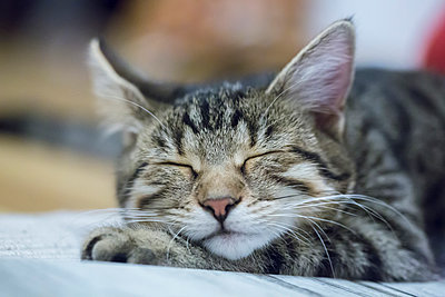 Portrait of sleeping cat - p300m885149f by Sandra Rösch