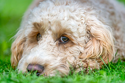 Close-up of the face of a blond cockapoo resting on the grass; North Yorkshire, England - p442m1449063 by John Short