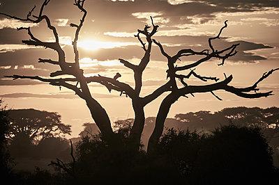 Dead umbrella thorn at sunset, Kenya - p706m2158416 by Markus Tollhopf