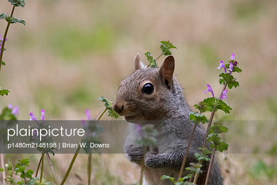 Portrait of a gray squirrel in grass - p1480m2148198 by Brian W. Downs