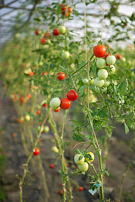 Tomatoes in greenhouse - p5050043 by Iris Wolf
