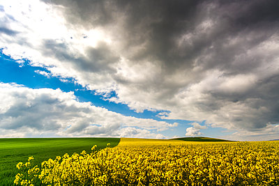 Rape field - p813m1154693 by B.Jaubert