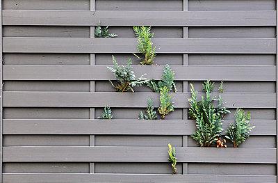 Durch die Wand wachsen - p1013m779004 von G. Bursac