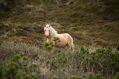 Pony in Heidelandschaft - p1273m1110923 von melanka