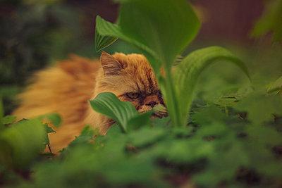 Portrait of ginger persian cat peering through foliage - p429m2019076 by Celeste Martearena