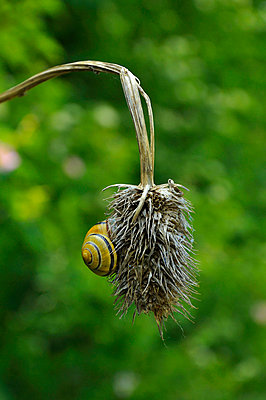 Snail hanging on a teasel - p876m668776 by ganguin