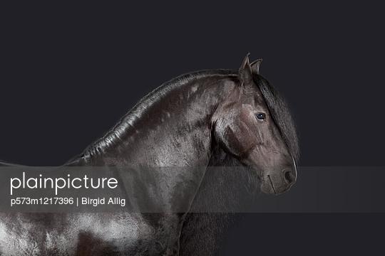 Pferdeportrait - p573m1217396 von Birgid Allig