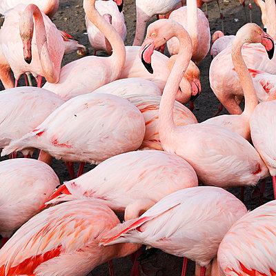 Flamingos - p1105m2145184 by Virginie Plauchut