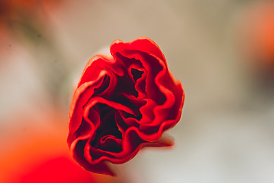 Red flower - p1628m2260846 by Lorraine Fitch