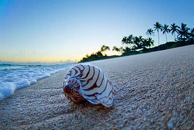 Sea shell on the beach during sunrise. - p343m1112036f by Sean Davey