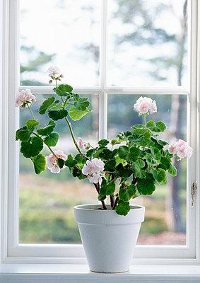 Pot of geranium flower on window sill - p528m718511f by Anne Nyblaeus