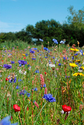 Field of red; blue and yellow flowers - p6810019 by Sandrine Léon