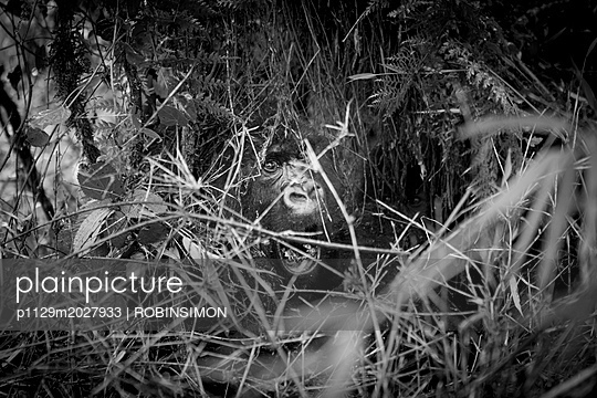 Gorilla im Regen - p1129m2027933 von ROBINSIMON