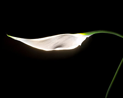 Glowing Calla - p6730004 by shigoto